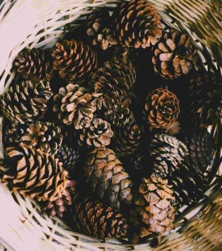 Multiple Pine Cones